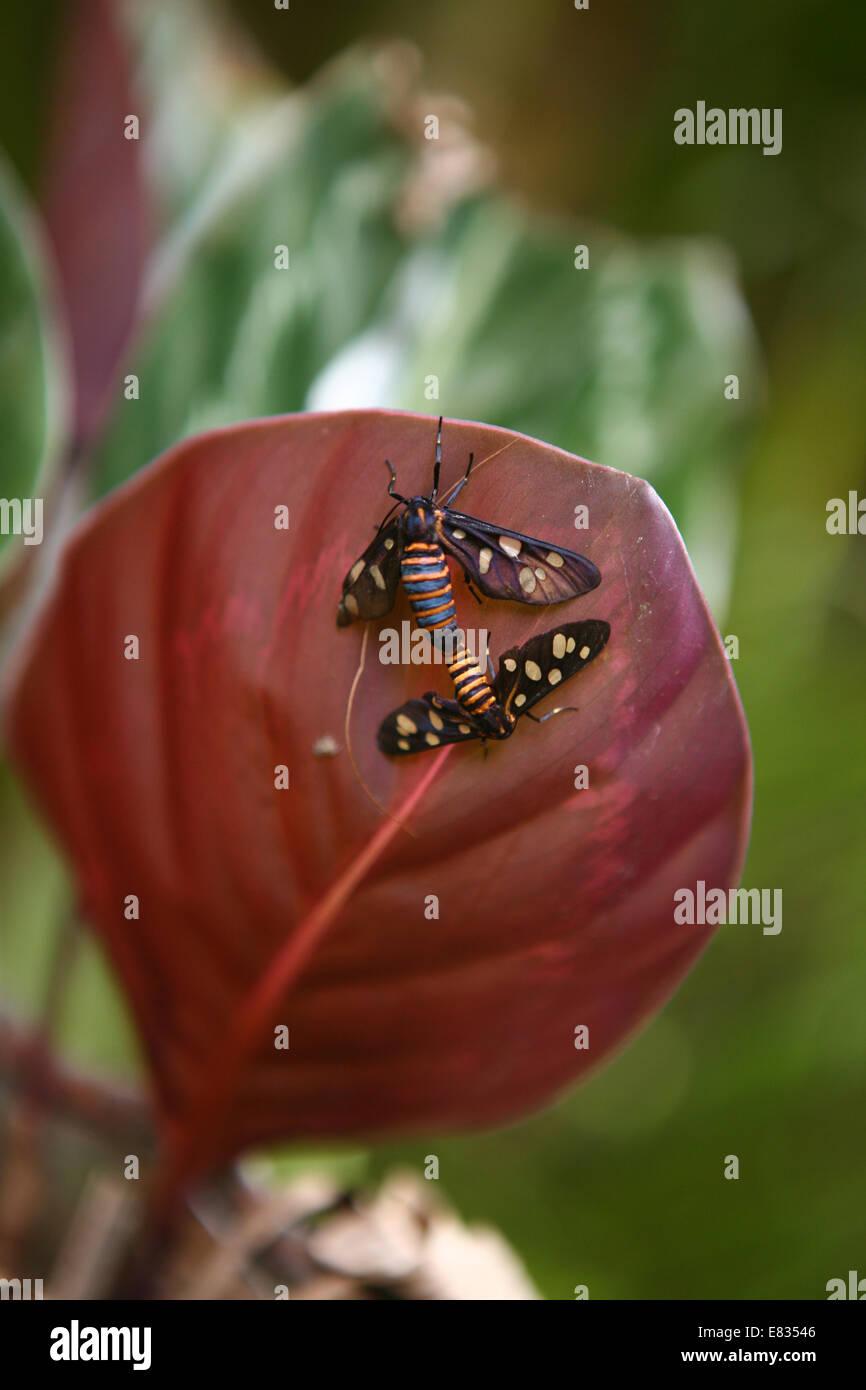 Stock Photo Limone Butterfly Papilio demoleus coppia coniugata captive Immagini Stock