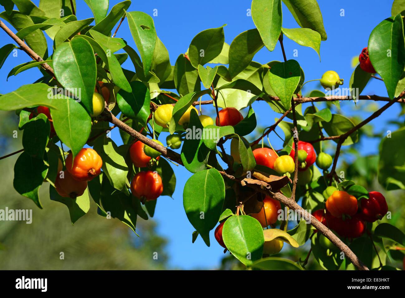 Pitanga frutta tropicali su albero Immagini Stock