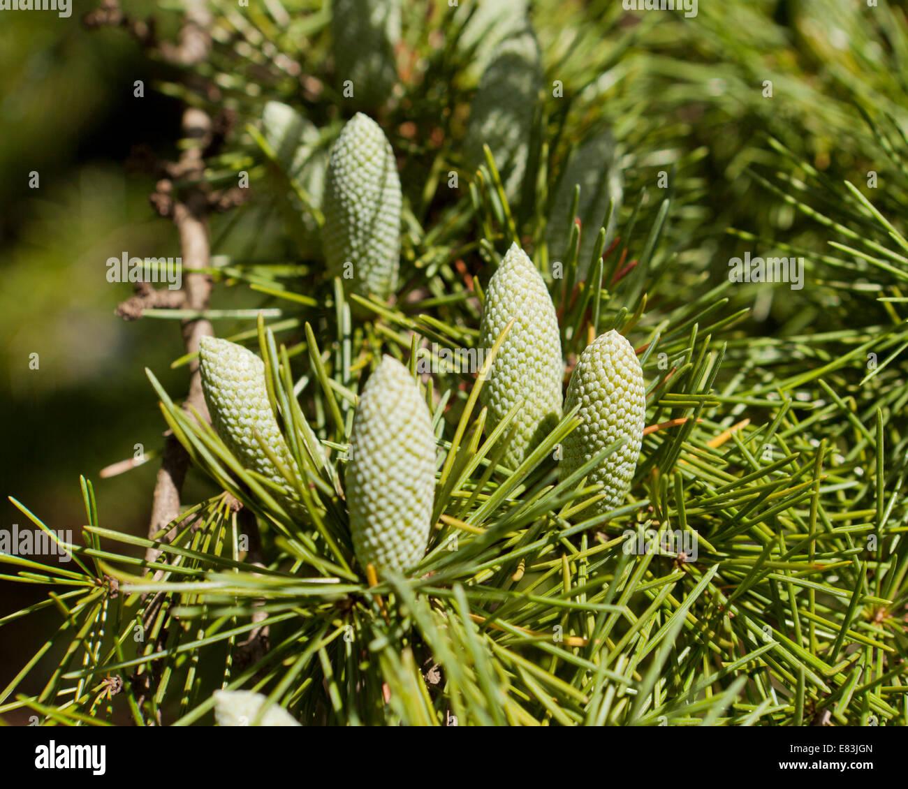 Il cedro del Libano (Cedrus libani) coni a inizio autunno - USA Immagini Stock