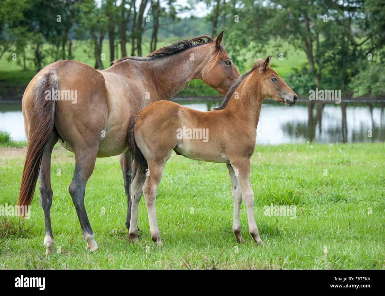 Quarter Horse mare e puledro. Immagini Stock