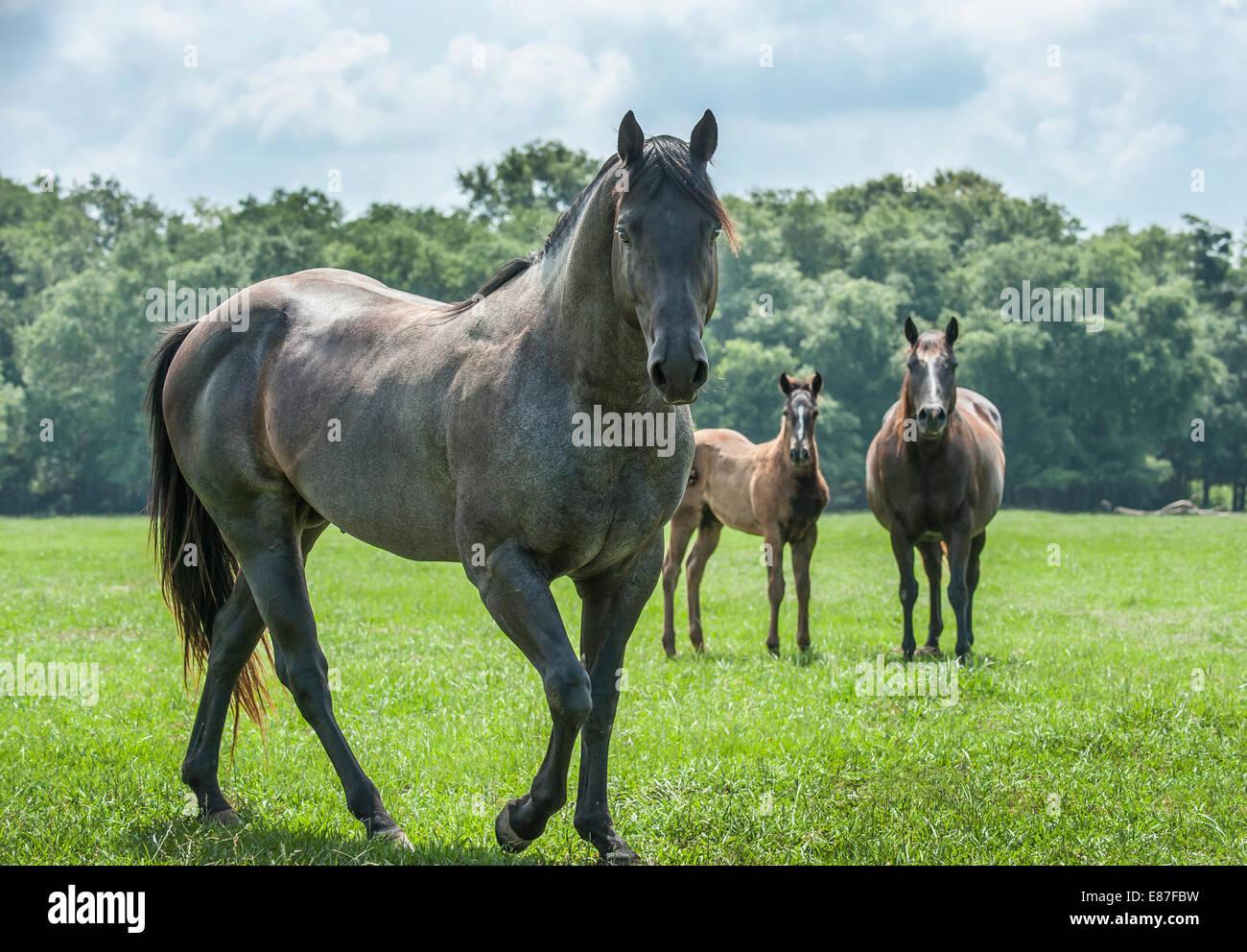 Quarter Horse stallone con mare e puledro Immagini Stock