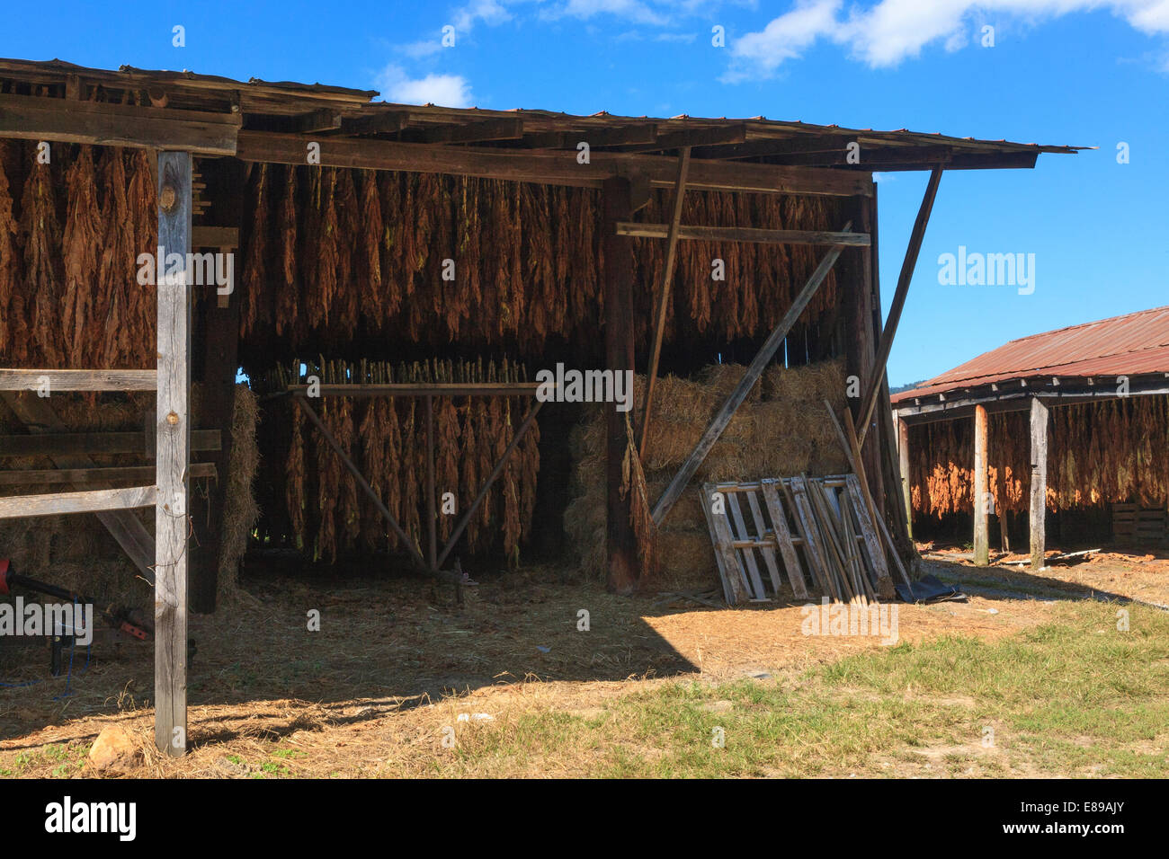 Foglie di tabacco appesi in Tennessee fienile di tabacco per la cura Foto Stock