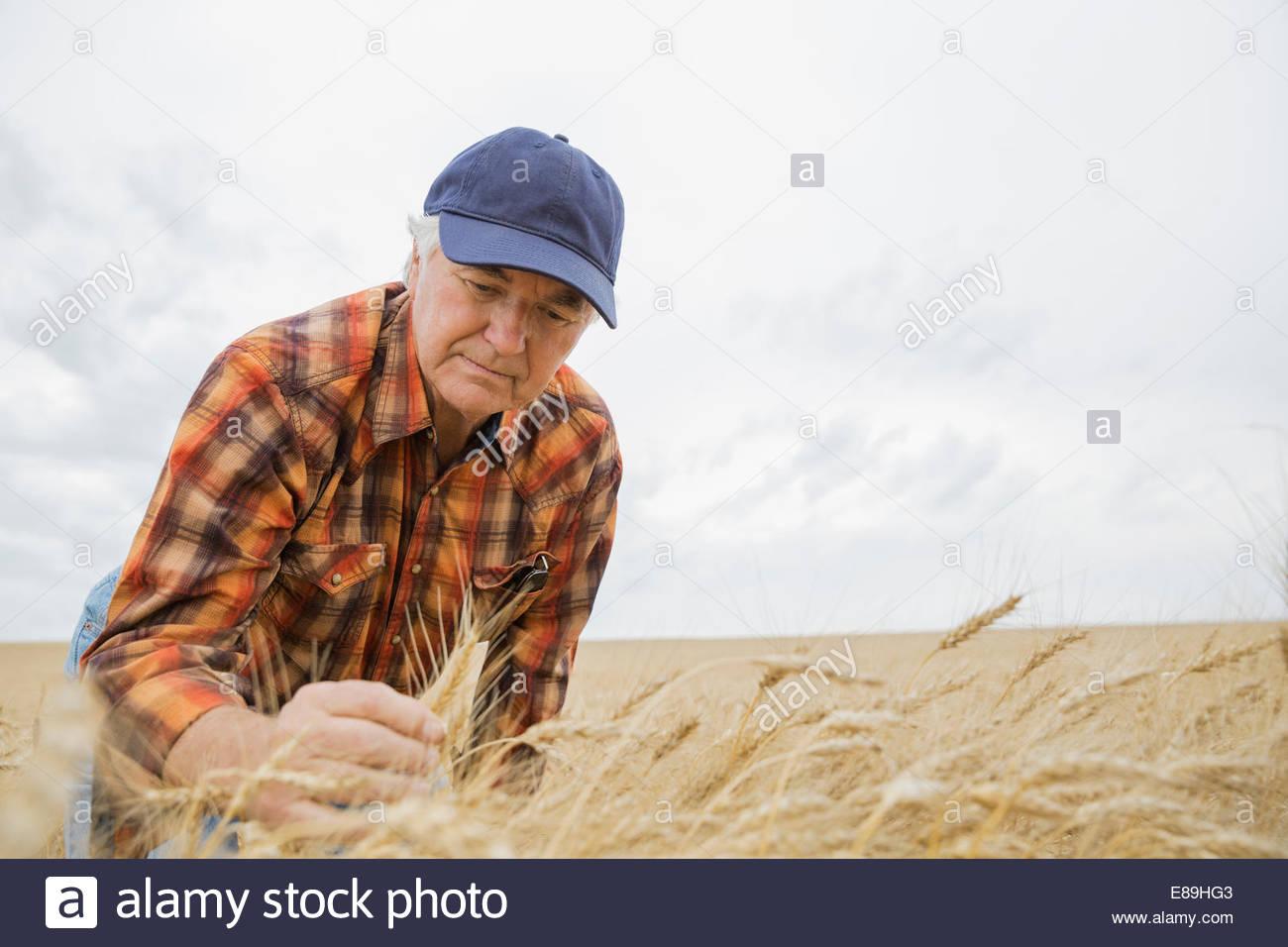 Agricoltore esaminando il raccolto di grano Immagini Stock