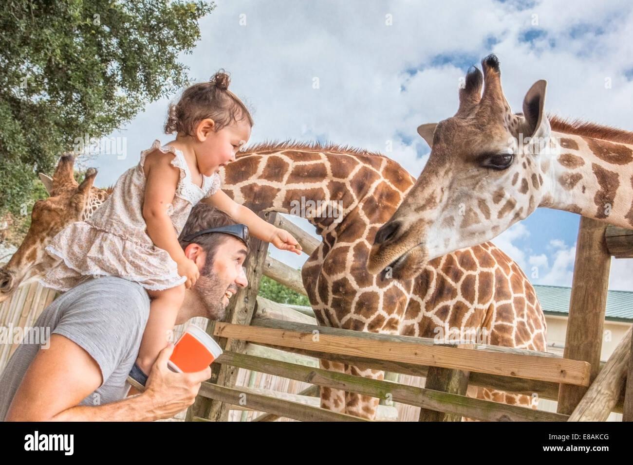 Bambina sulle spalle dei padri alimentando le giraffe allo zoo Immagini Stock