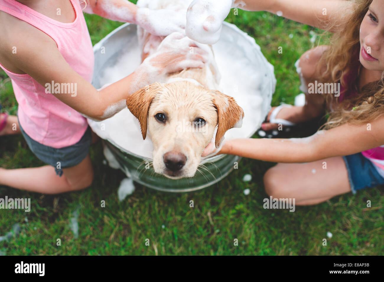 Il Labrador Retriever puppy in cerca della benna fino Immagini Stock