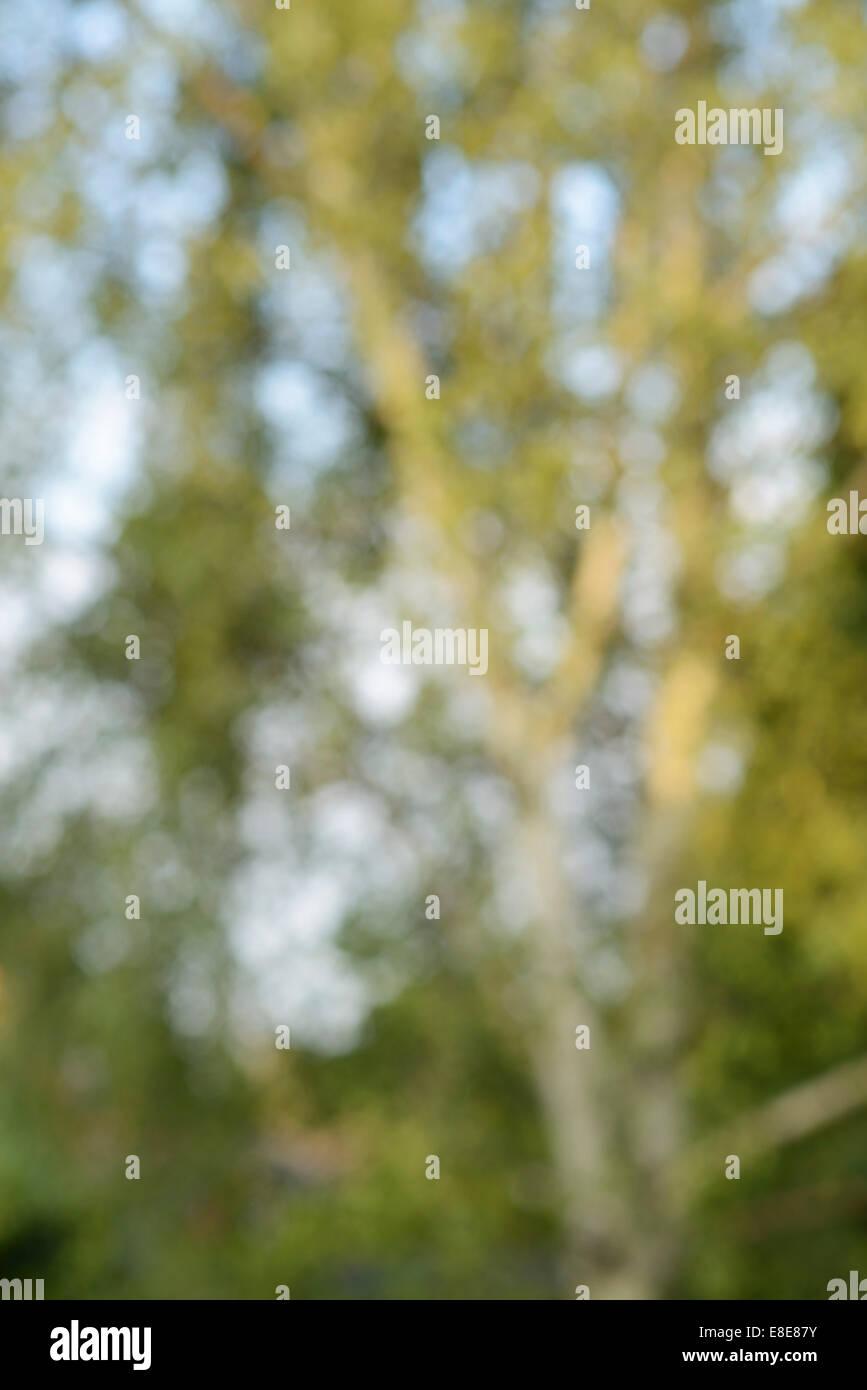 Al di fuori della messa a fuoco argento betulla sfondo astratto Immagini Stock