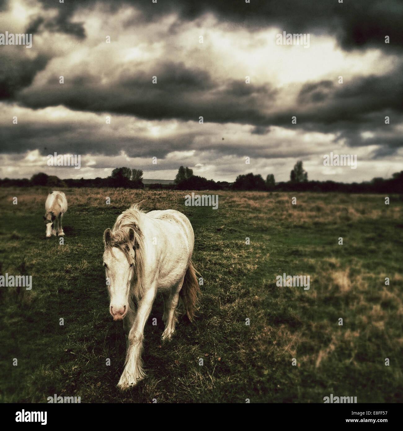 Due cavalli in campo con moody sky Immagini Stock
