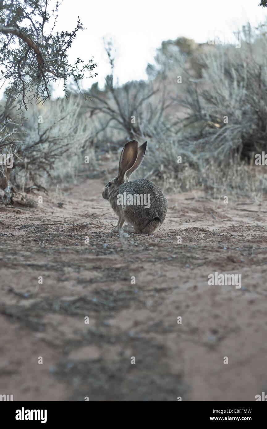 Coniglio nel deserto Immagini Stock