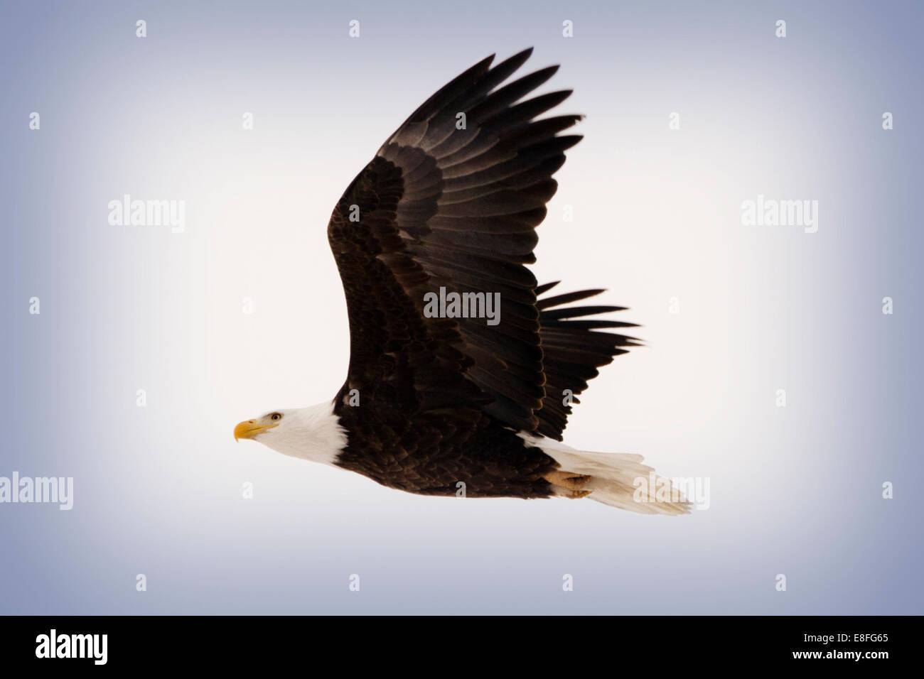 Aquila calva in volo, Colorado Immagini Stock