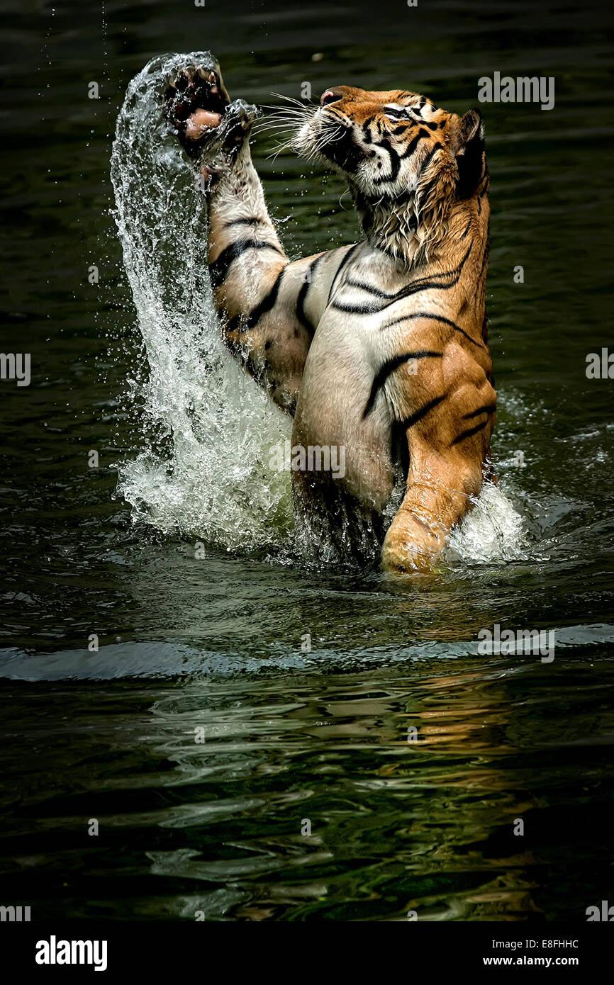 Indonesia Jakarta Special Capital Region, Ragunan, Tiger jumping da acqua per la cattura di cibo Immagini Stock