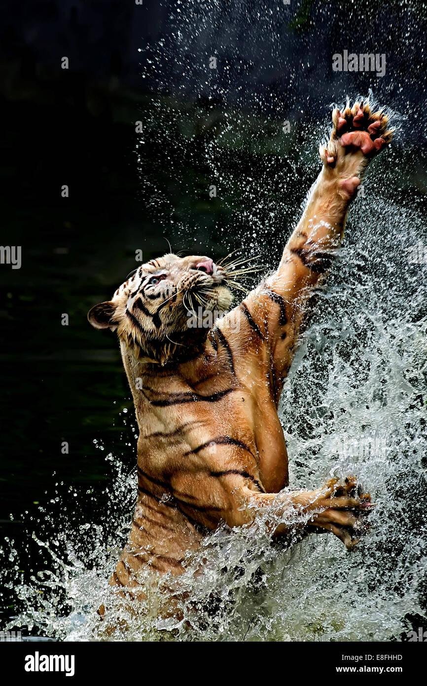 Tiger il salto nel fiume, Ragunan, Jakarta, Indonesia Immagini Stock