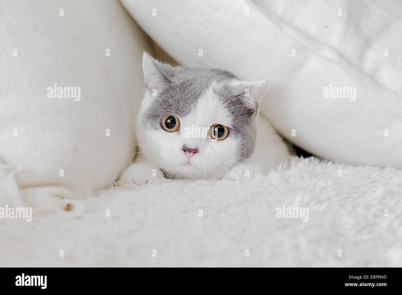 Cat nascondendo in cuscini Immagini Stock