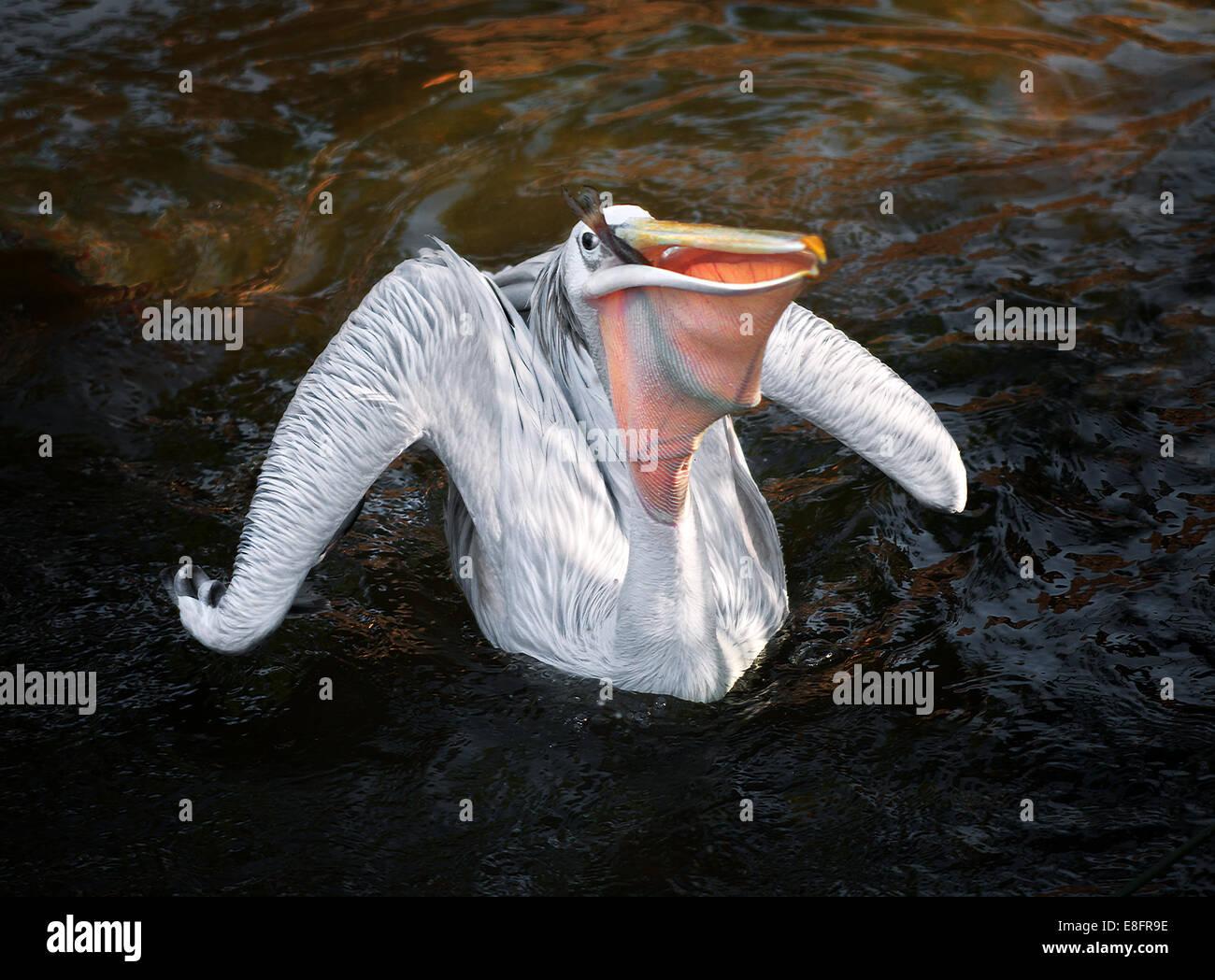 Pellicano (Pelecanus onocrotalus) sull'acqua con pesce nel becco Immagini Stock