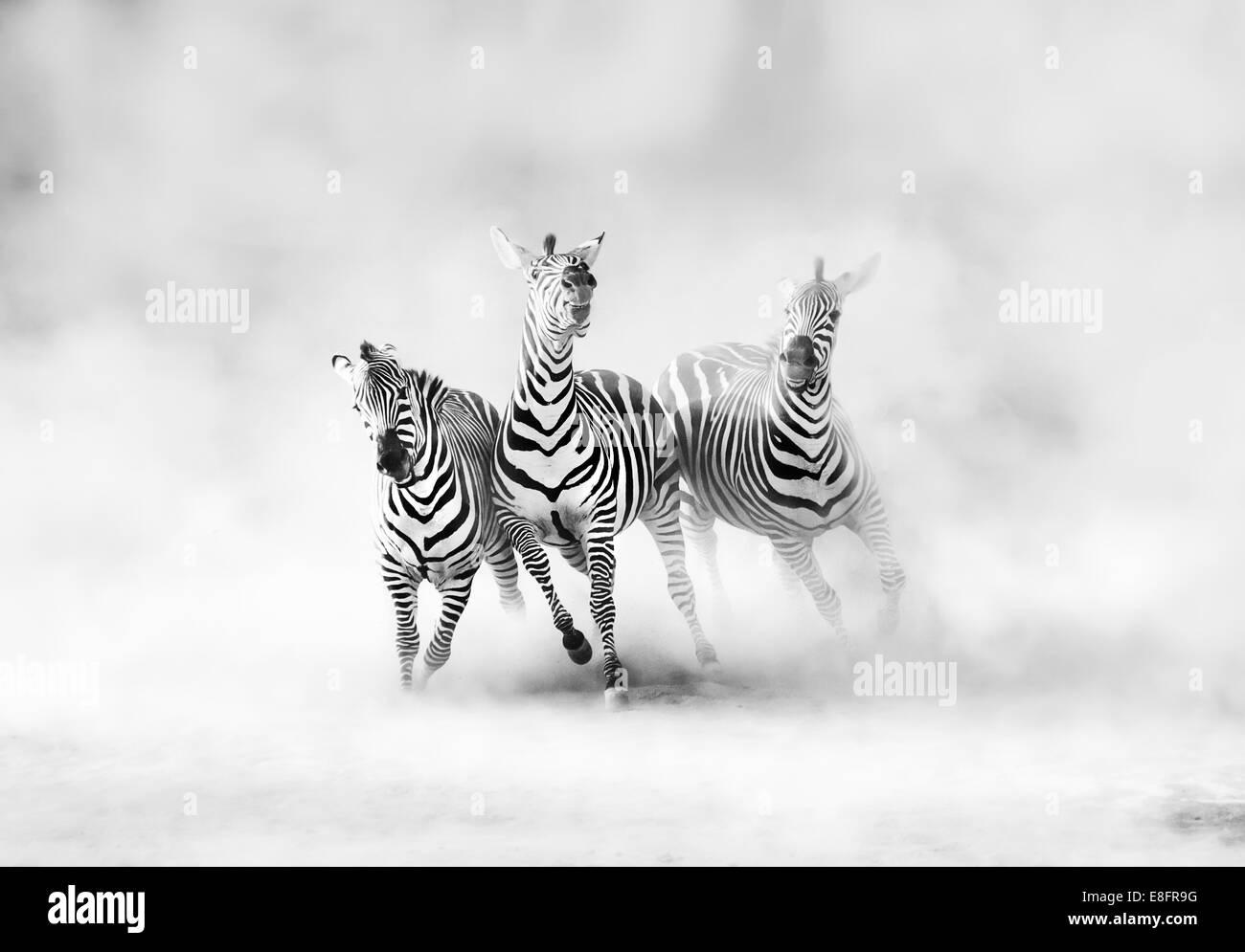 Zebre (perissodactyla) in esecuzione in una nube di polvere Immagini Stock