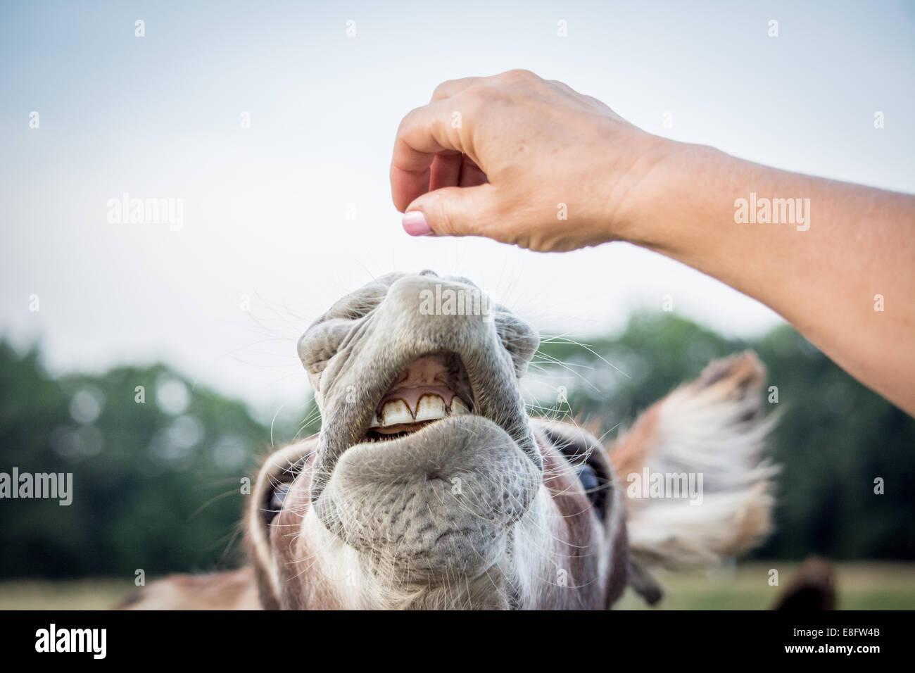 Donna asino di alimentazione Foto & Immagine Stock: 74107723 - Alamy