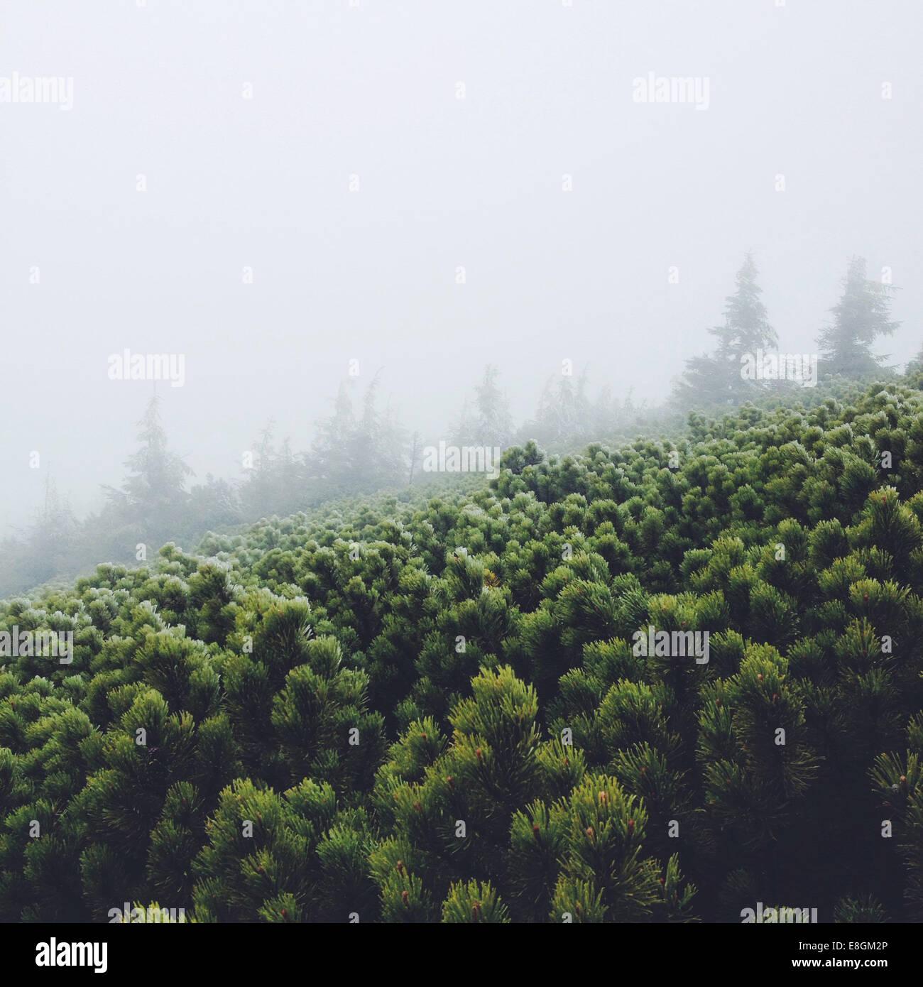 Pino nella nebbia Immagini Stock