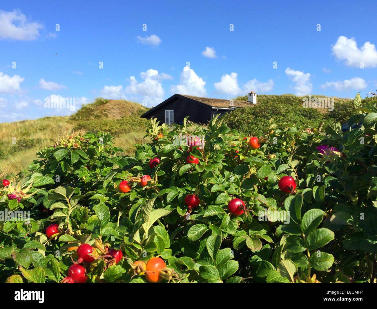Summerhouse con cespugli di rosa canina in primo piano, Fanoe Bad, Fanoe, Danimarca Immagini Stock