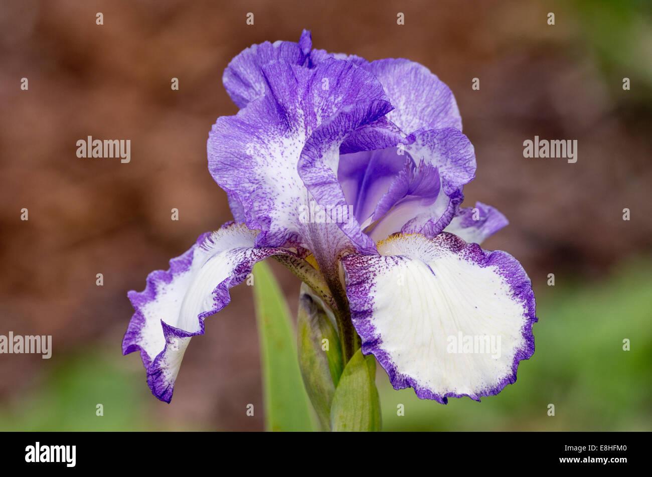 Iris ballerini velo Foto Stock