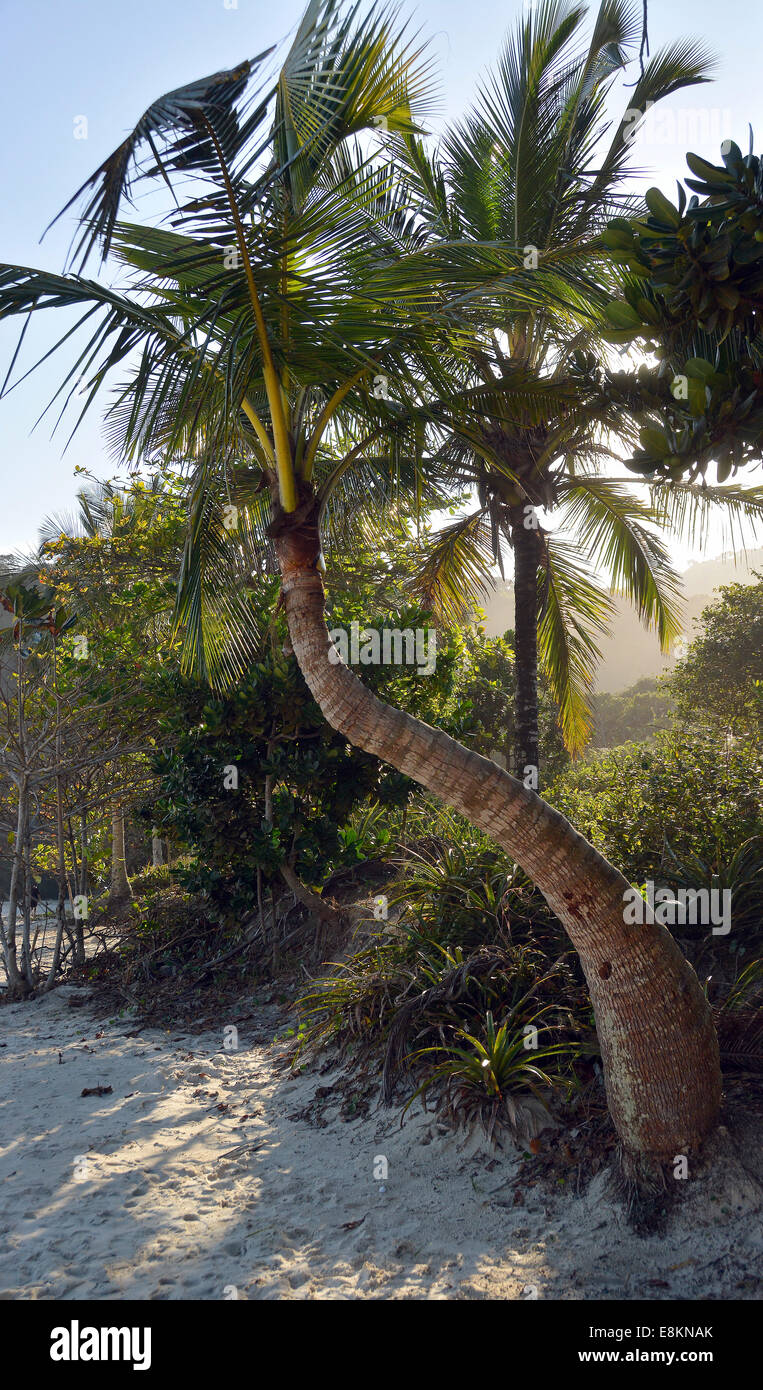 Palma da cocco (Cocos nucifera), lopes mendes beach, Ilha Grande, stato di Rio de janeiro, Brasile Immagini Stock