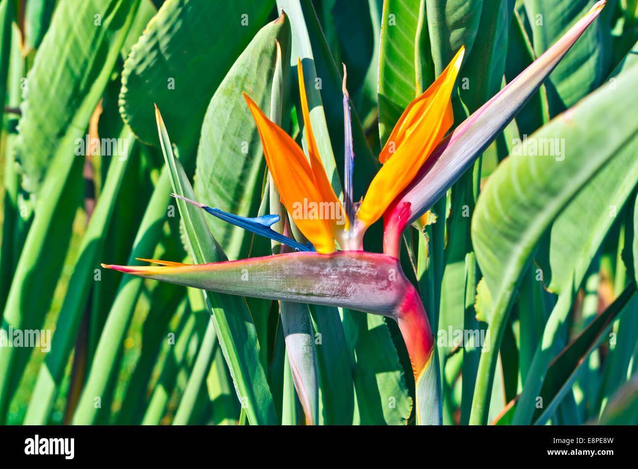 Strelizia uccello del paradiso fiore in un giardino. Immagini Stock