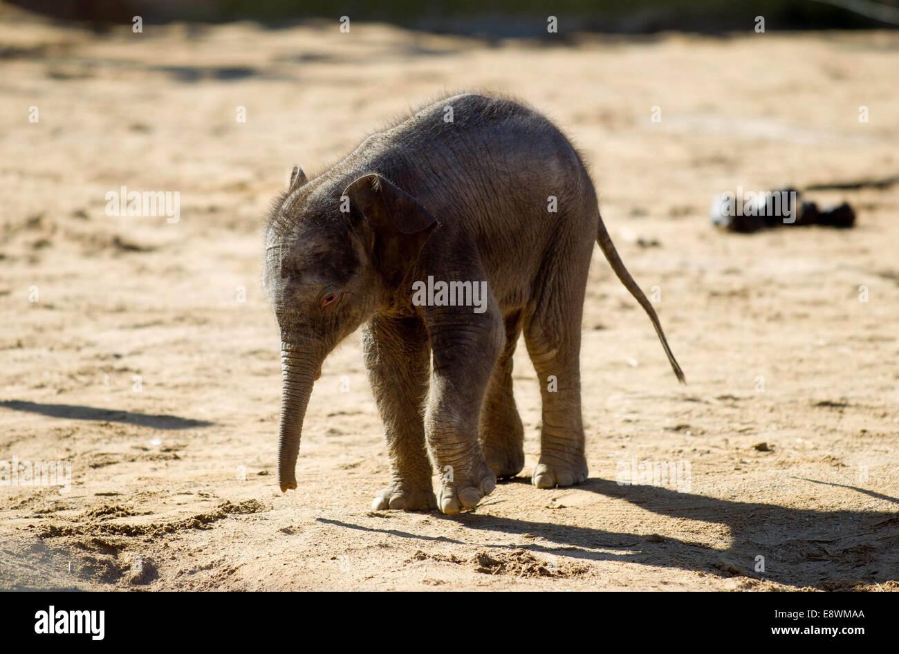 Un bambino elefante Asiatico va in piena vista del pubblico presso lo Zoo Twycross Immagini Stock