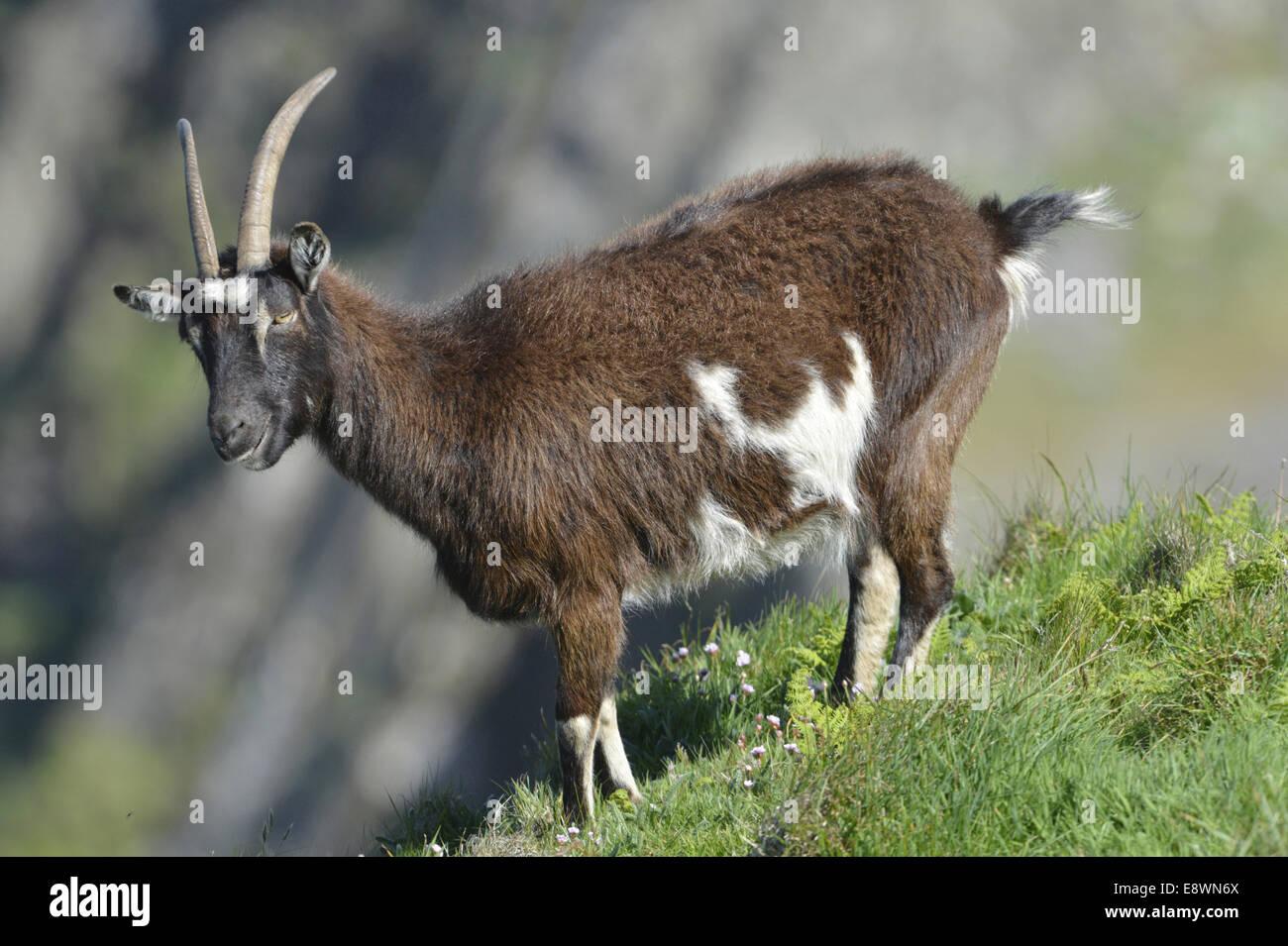 Capra - Capra hircus Immagini Stock