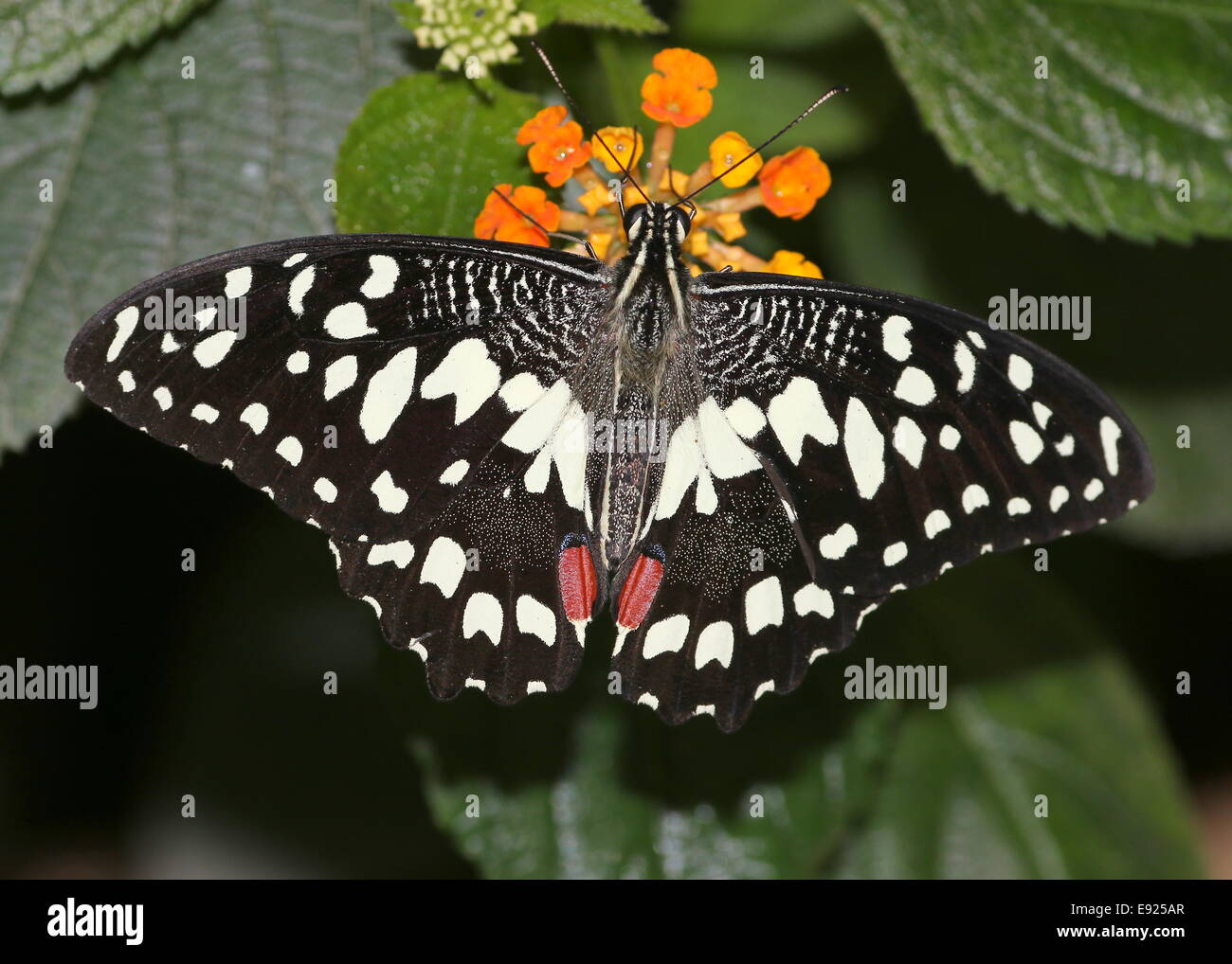 A coda di rondine a scacchi (Papilio demoleus) a.k.a. Succo di limone o lime a coda di rondine o piccole farfalle Immagini Stock