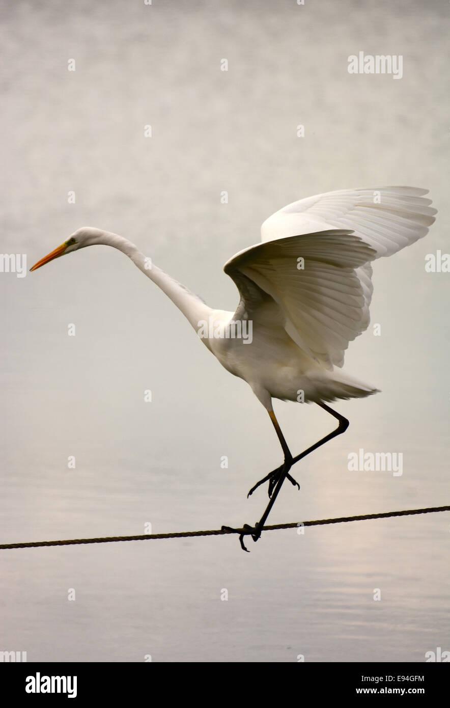 Airone bianco maggiore, Ardea alba, equilibrio sul cavo Foto Stock
