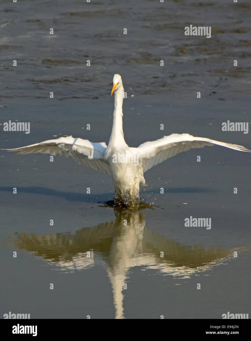 Airone bianco maggiore, Ardea alba Immagini Stock