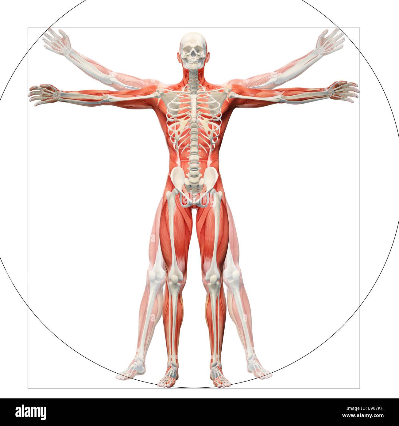 Anatomia umana visualizzato come l'uomo vitruviano di Leonardo da Vinci Immagini Stock