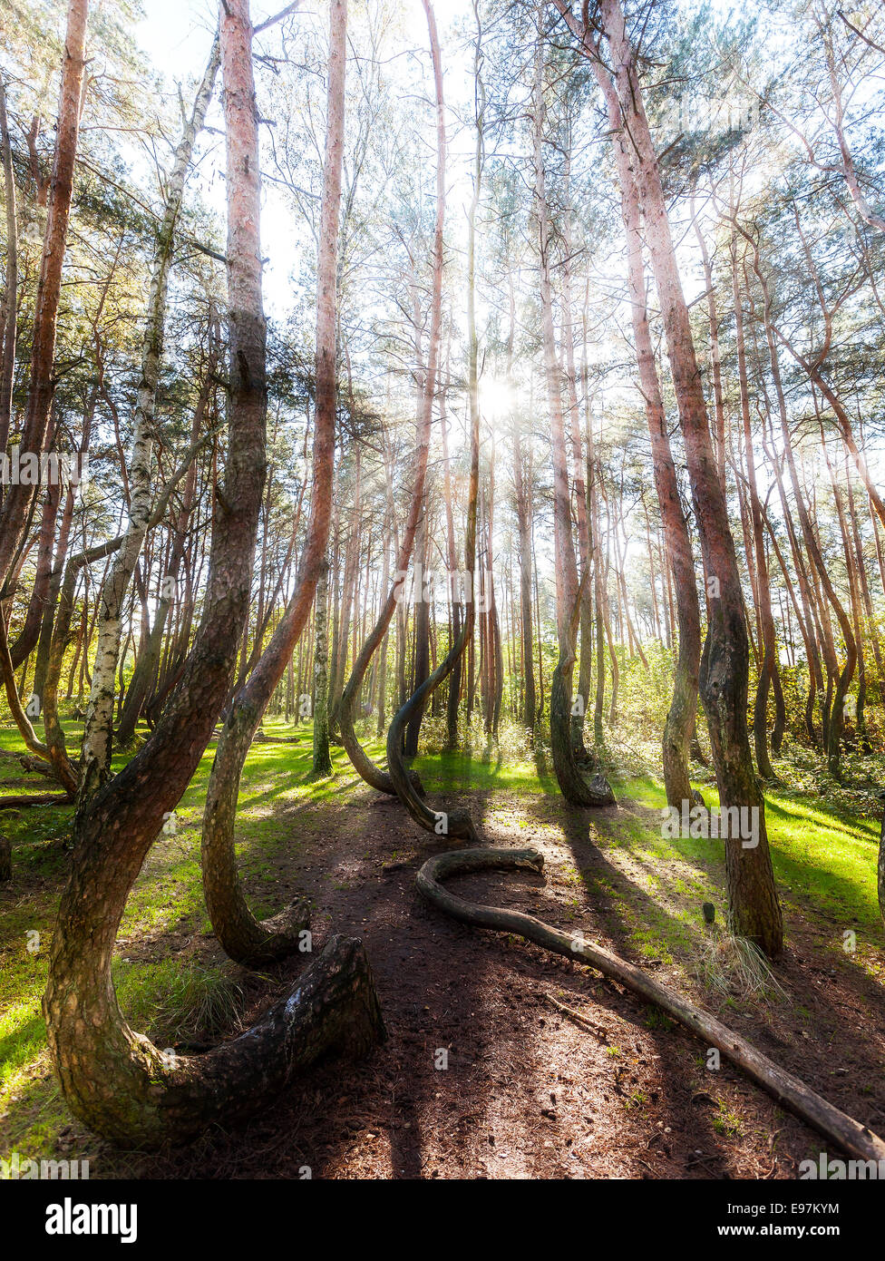 Bel mattino nella foresta di storta con raggi di sole e lunghe ombre. Immagini Stock
