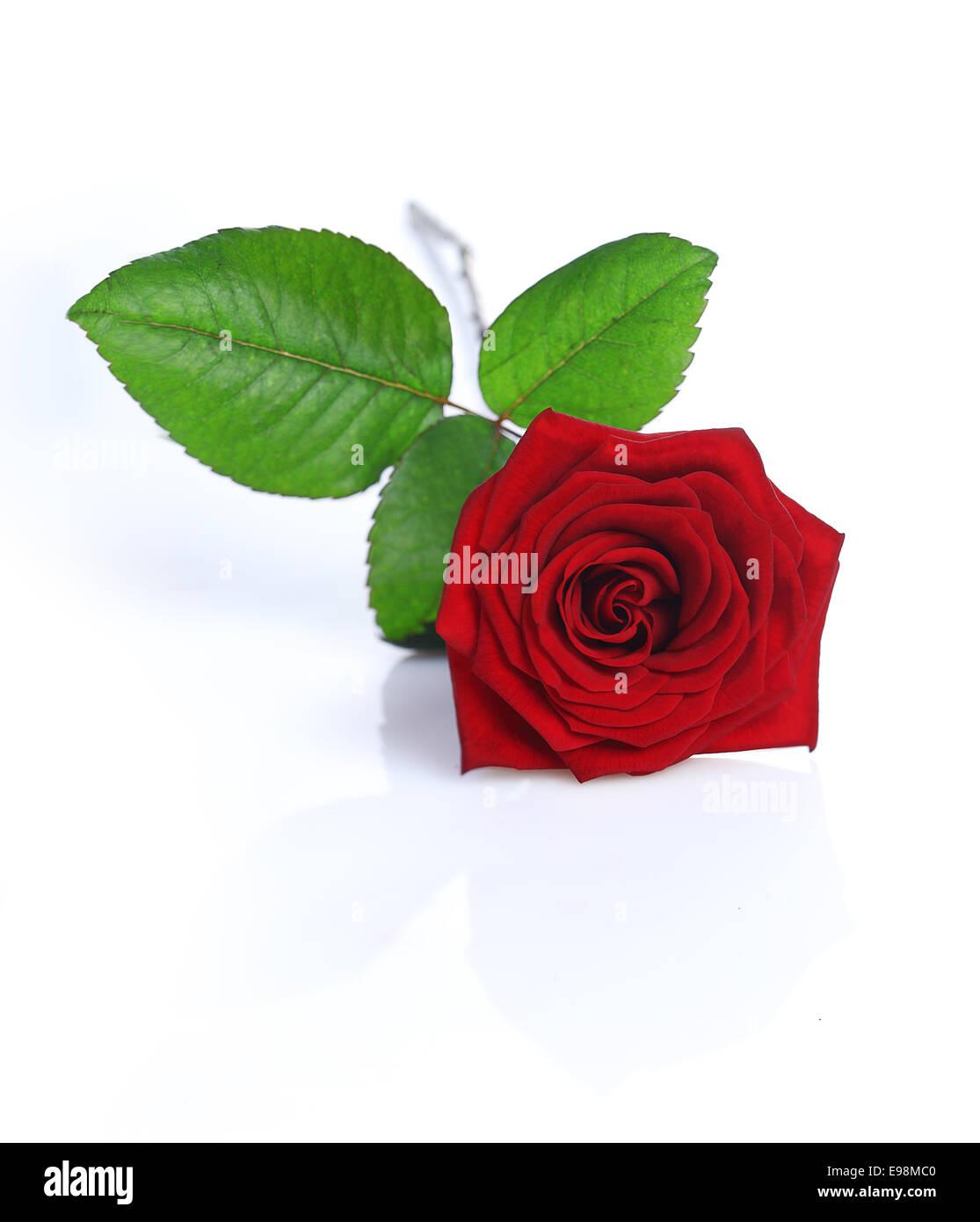 Una Rosa Rossa Isolato Su Sfondo Bianco Foto Immagine Stock