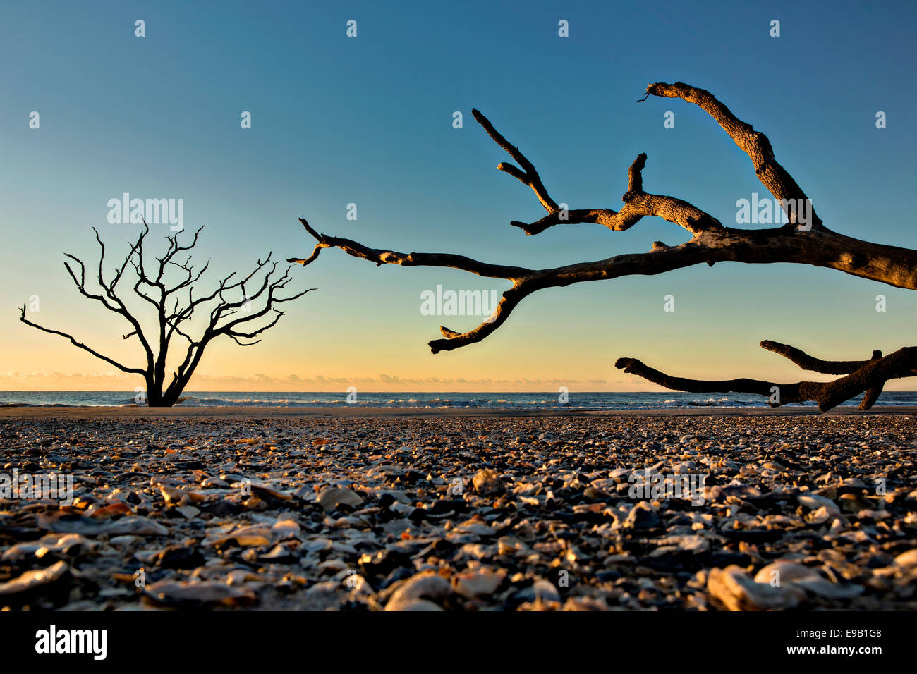 Driftwood alberi contro il sorgere del sole sulla spiaggia di cimitero a Botany Bay Plantation Ottobre 16, 2014 in Edisto Island, nella Carolina del Sud. Ogni anno 144.000 metri cubi di sabbia è lavato via con le onde sulla spiaggia e nearshore erodendo la foresta costiera lungo il fronte spiaggia. Foto Stock