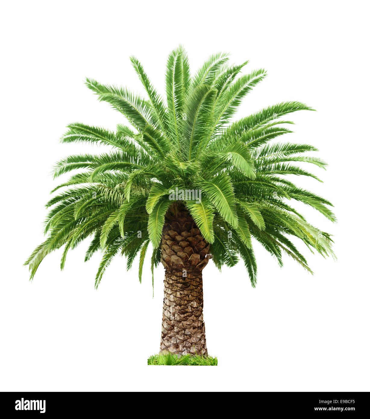 Bella verde Palm tree isolati su sfondo bianco Immagini Stock