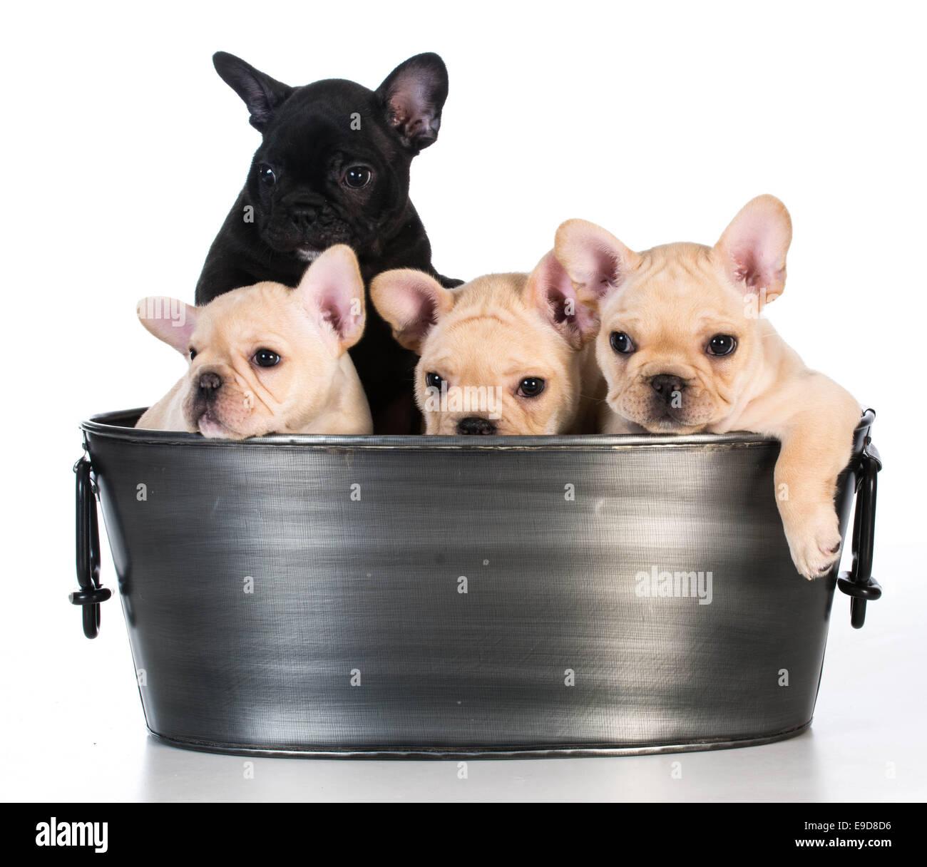 Quattro Cuccioli Di Bulldog Francese Immagini Quattro Cuccioli Di