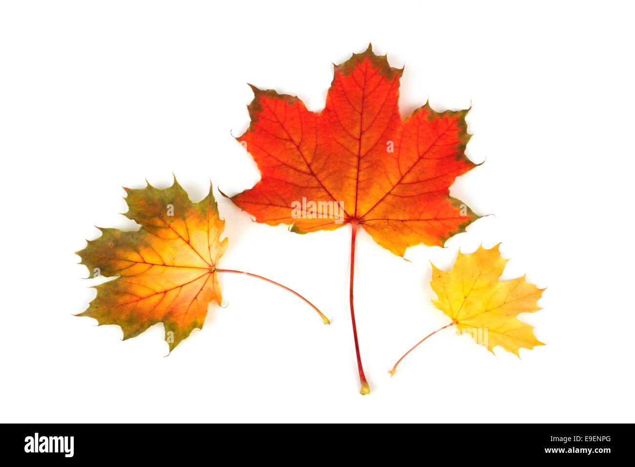 Maple Leaf cadono le foglie in autunno Colori Colori Immagini Stock