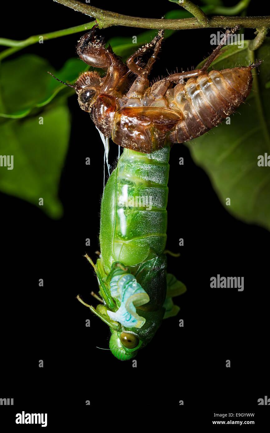 Verde giada Cicala (Dundubia vaginata). Il torace e la testa, le gambe e primi segmenti addominali appena emerso Immagini Stock