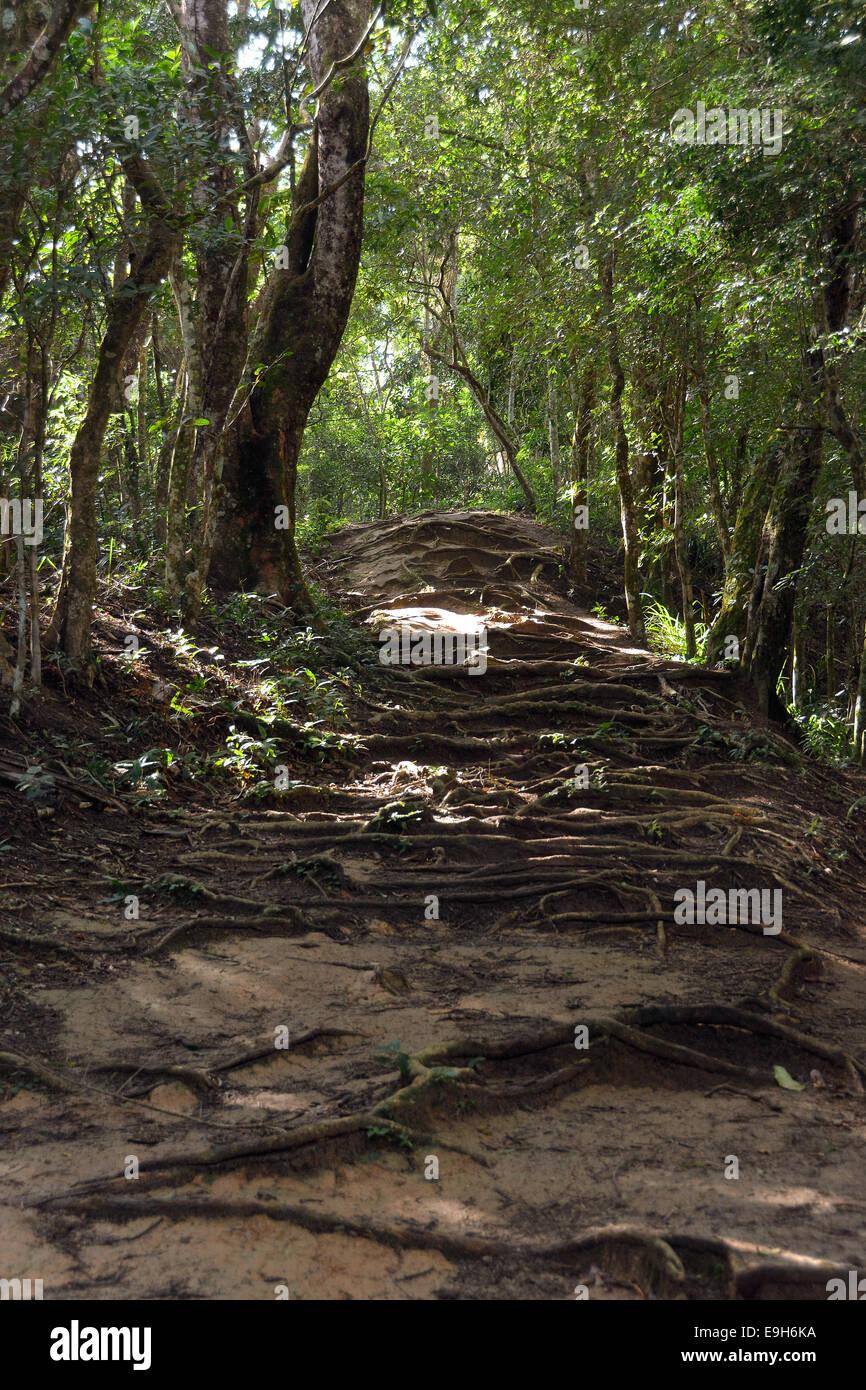 Radici che copre un sentiero nella foresta pluviale, vicino lopes mendes, Ilha Grande, stato di Rio de janeiro, Immagini Stock