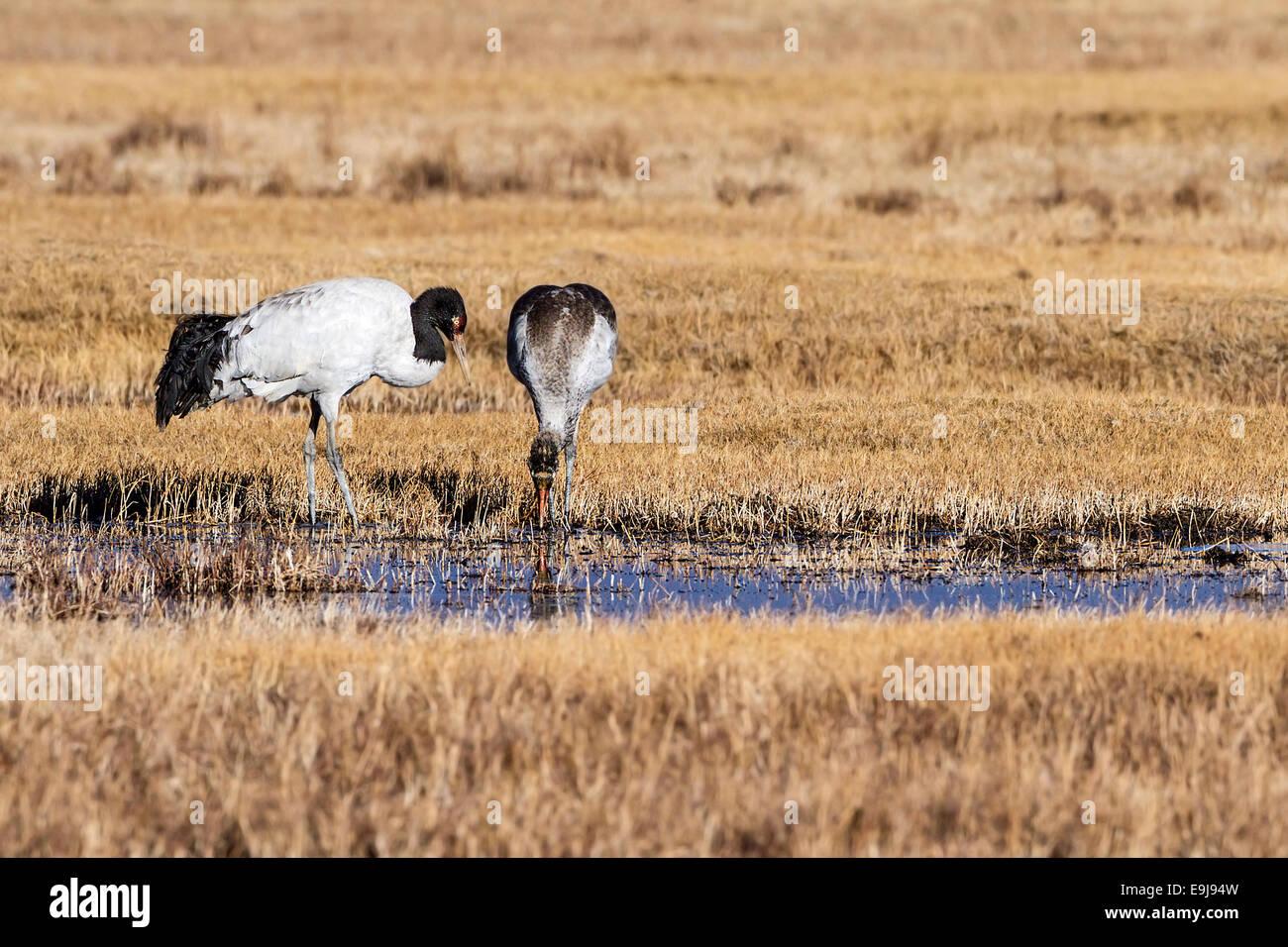 Nero-gru a collo alto (Grus nigricollis) genitore affacciato sul novellame di prole in inverno la massa di alimentazione, Immagini Stock
