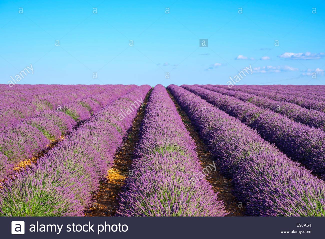 Righe di viola di lavanda in altezza del blumo ai primi di luglio in campo sul Plateau de Valensole, Provenza, Francia Immagini Stock