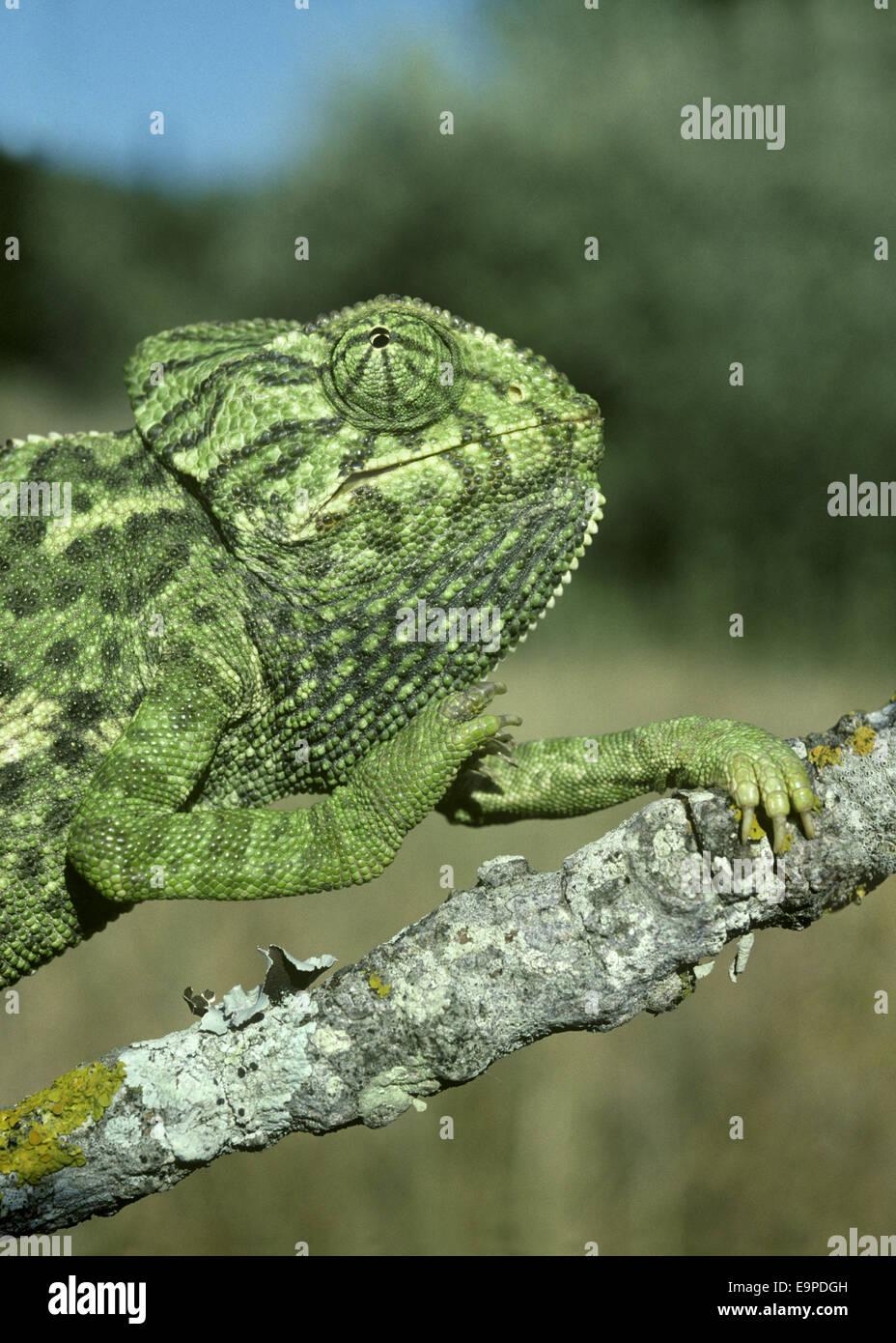 Unione Chameleon - Chamelo chameleon Immagini Stock