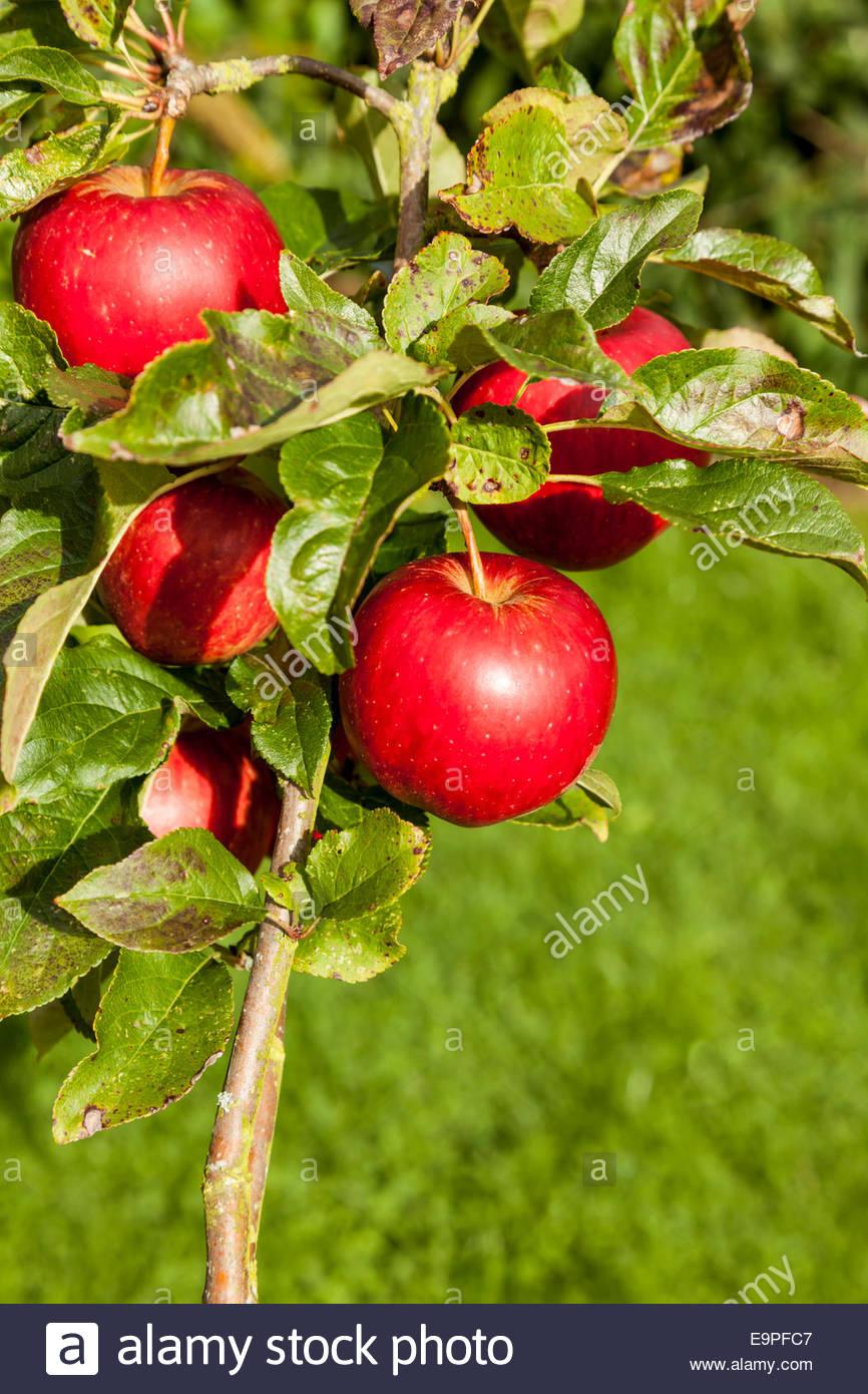 Albero di mele- varietà è Saturno Immagini Stock