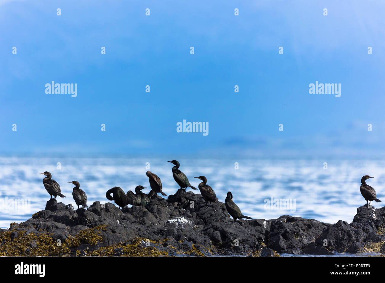 Colonia del cormorano uccelli costieri, Phalacrocorax carbo, sulle rocce sull isola di Canna parte delle Ebridi Immagini Stock