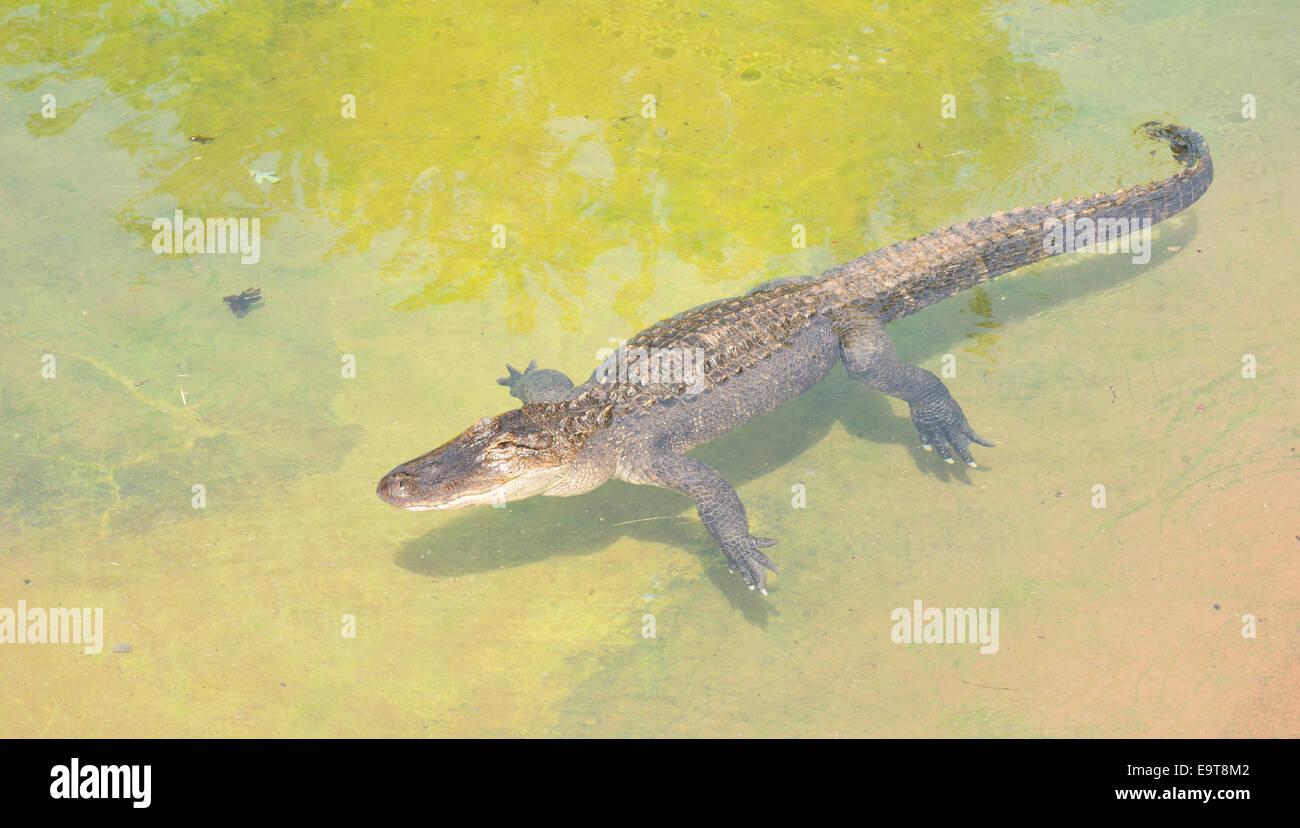 American alligator Alligator mississippiensis, crogiolarsi in una piscina poco profonda di acqua Immagini Stock