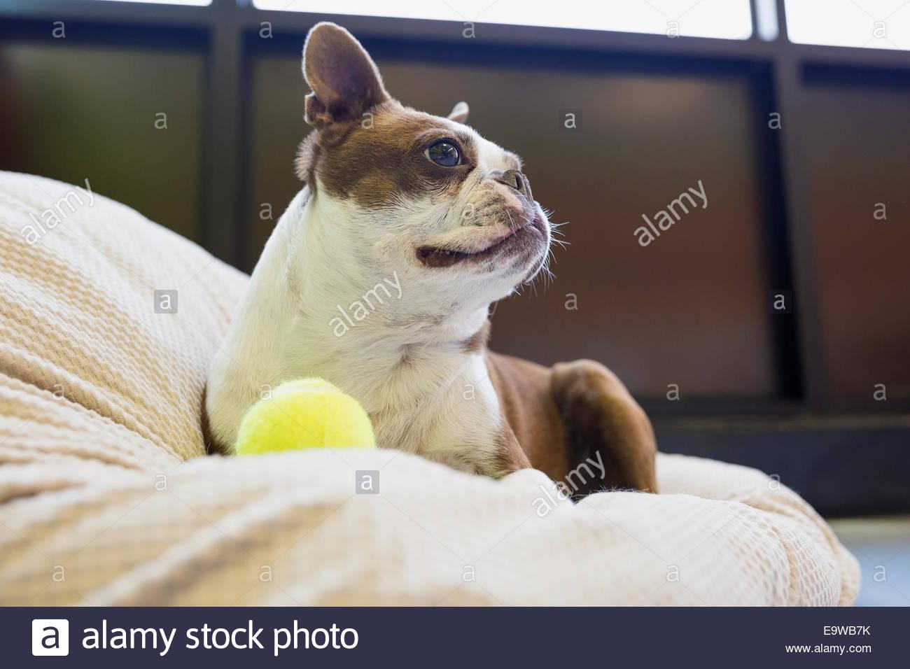 Boston Terrier con palla da tennis che guarda lontano Immagini Stock