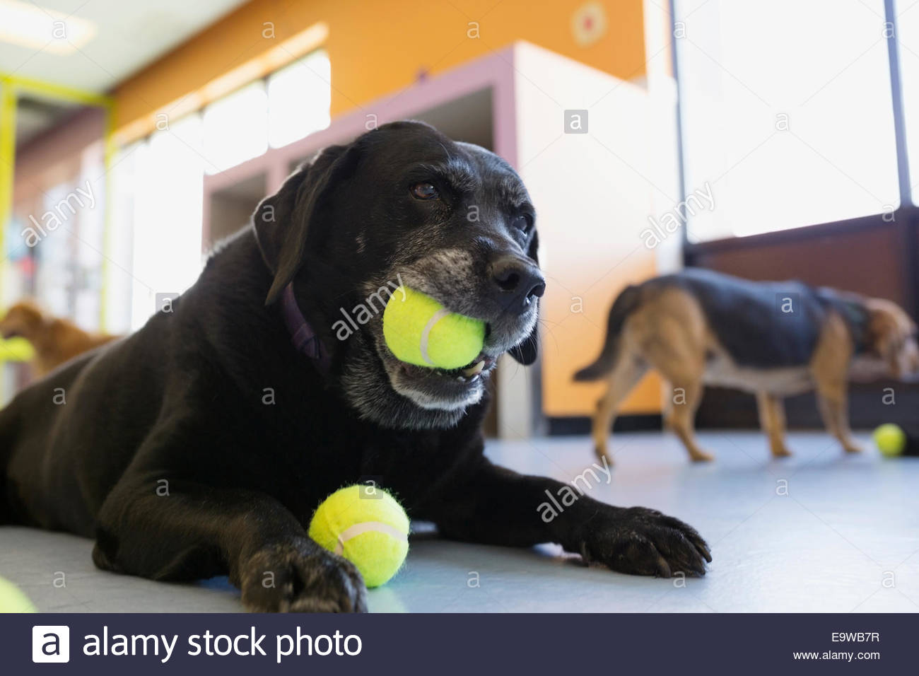 Nero Labrador Retriever masticare palla da tennis Immagini Stock