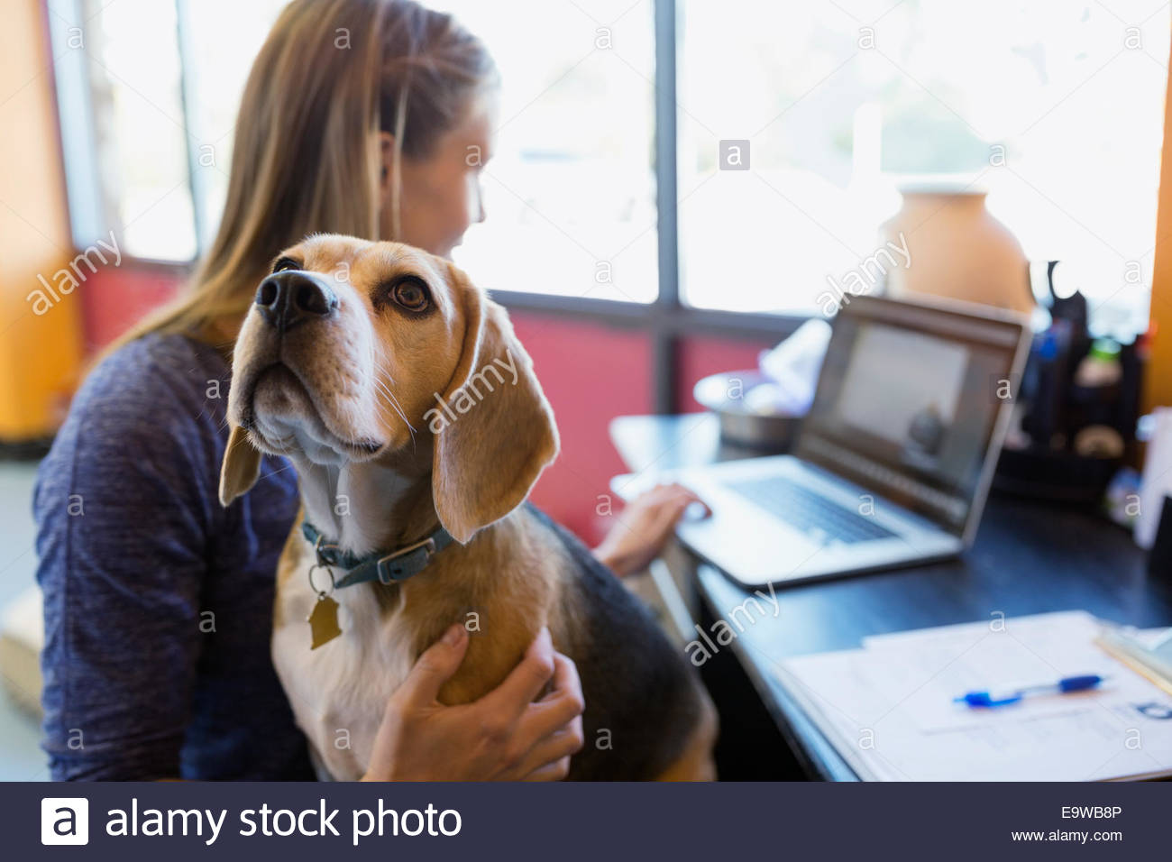 Donna che lavorano al computer portatile con Beagle al giro Immagini Stock