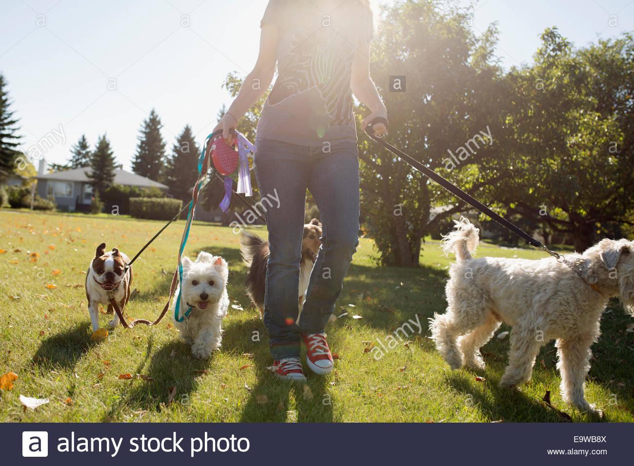 Donna pochi cani nel soleggiato parco Immagini Stock
