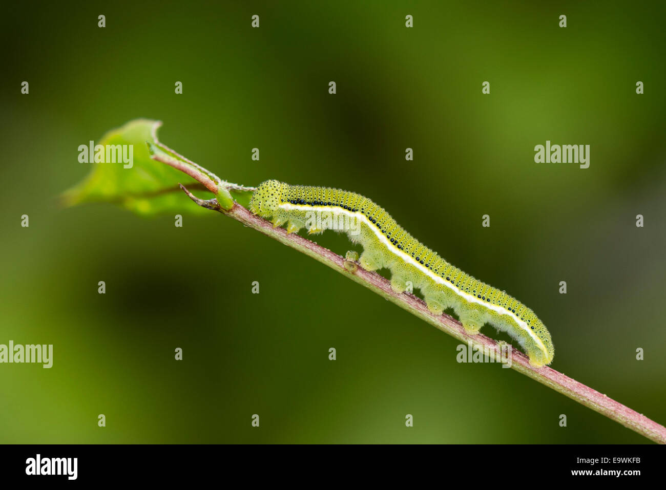 Una larva di limone emigrante butterfly Immagini Stock