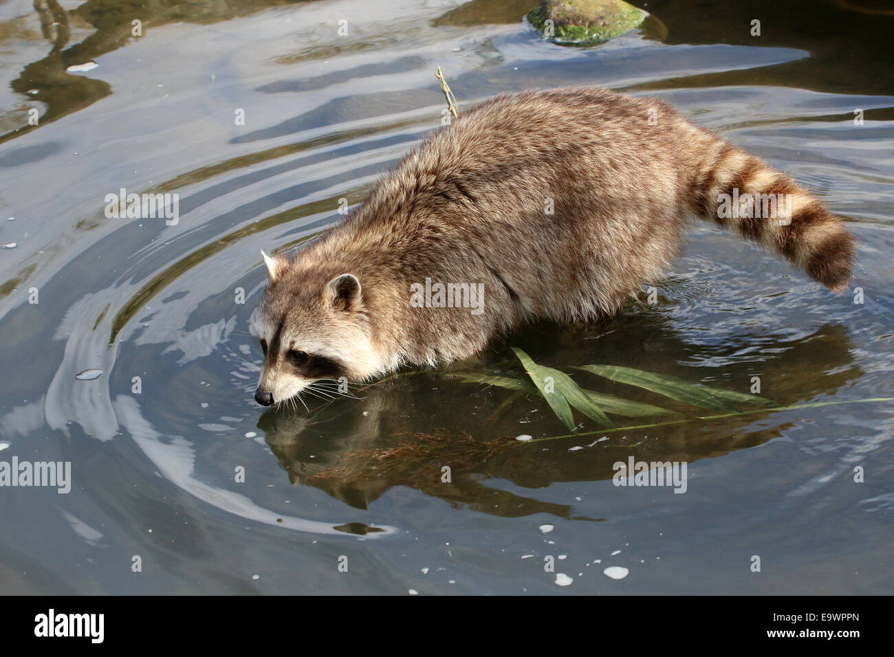 Per il Nord America o per il nord raccoon ( Procione lotor) camminando attraverso l'acqua Immagini Stock
